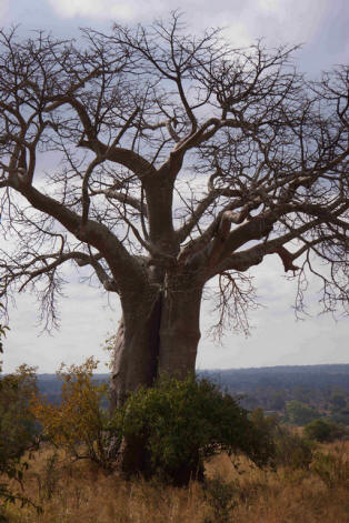 Baobabs et paysages d'animaux